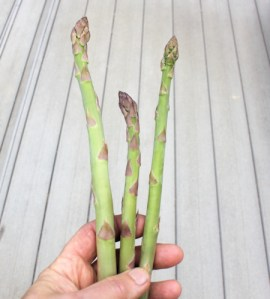first asparagus spears of 2013
