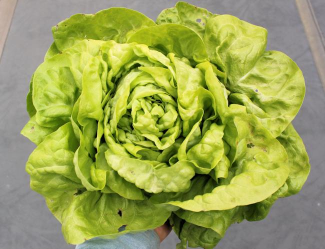 'Kweik' butterhead lettuce