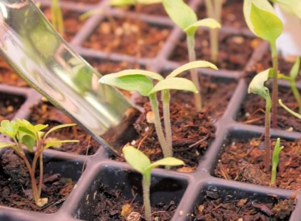 widger in use on pepper seedling