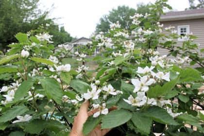 blackberries blooming