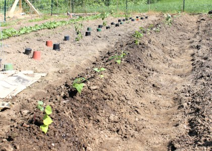 finished row of sweet potatoes after planting