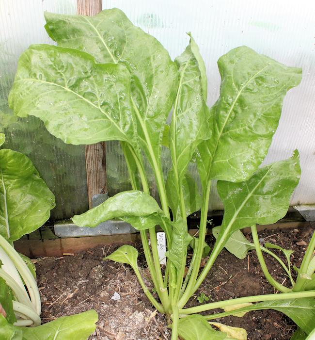 Verde da Taglio growing in greenhouse bed