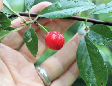 North Star pie cherry