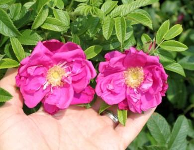 Purple Pavement rose blooms