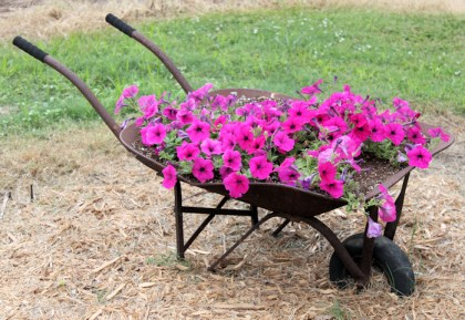 wave petunias in wheelbarrow