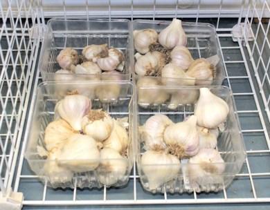 garlic ready for storage