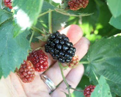 Apache blackberries ready for harvest