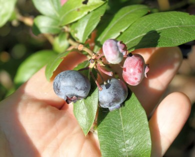 Chandler blueberries in July