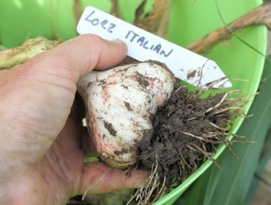 tLorz Italian bulb right after digging