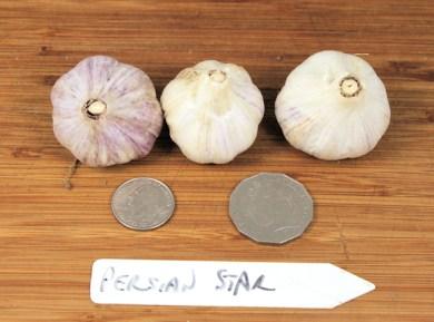 Persian Star purple stripe garlic