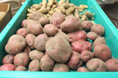 Red Lasoda potatoes