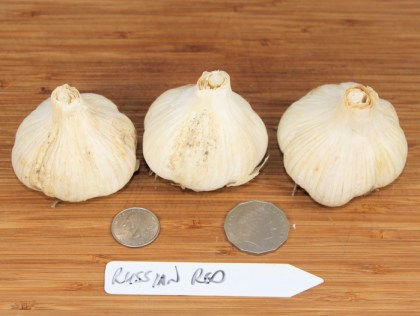 Russian Red rocambole garlic
