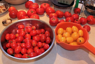 tomatoes ready for processing