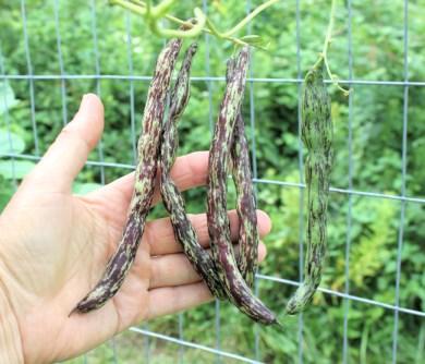 older Rattlesnake pods
