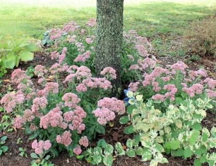 sedums blooming in autumn