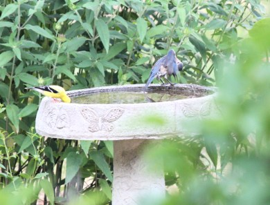 goldfinch gets a drink while the bluebird preens