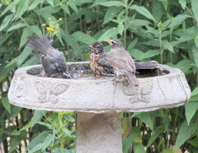 Baby robins like the birdbath too