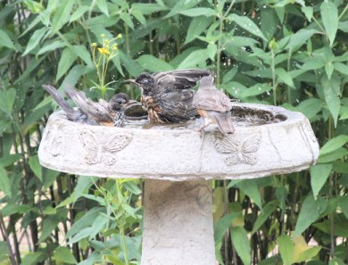 four robins means standing room only at the pool!