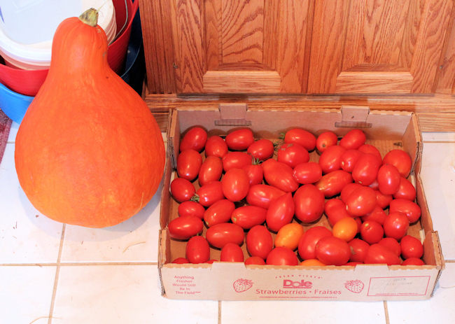 paste tomatoes hanging out with Boston Marrow squash