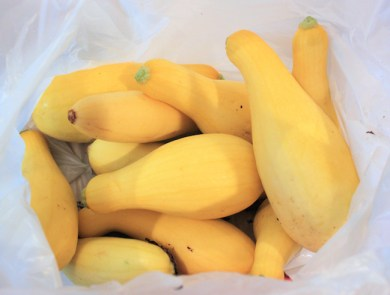 yellow squash ready for donation