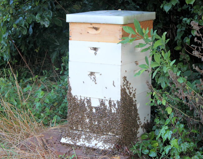 bees 'bearding' on hive