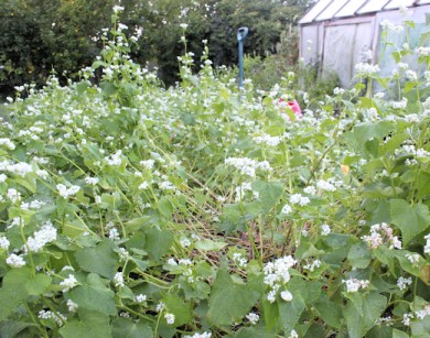 cover crop of buckwheat