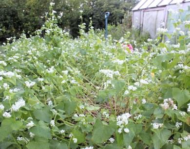 cover crop of buckwheat