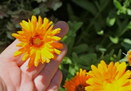 Calendula blooming in our garden