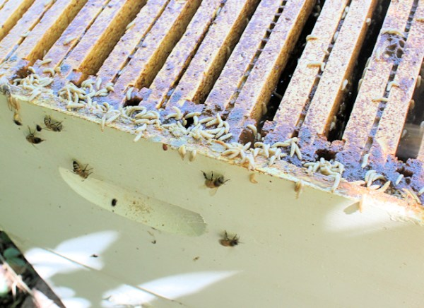 hive beetle larvae crawling on top of frames