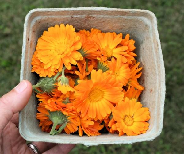 harvest of calendula flowers