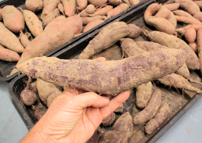 one of the Carla's Purple sweet potatoes