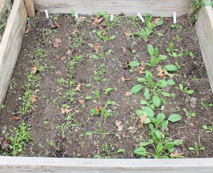 cold frame with spinach