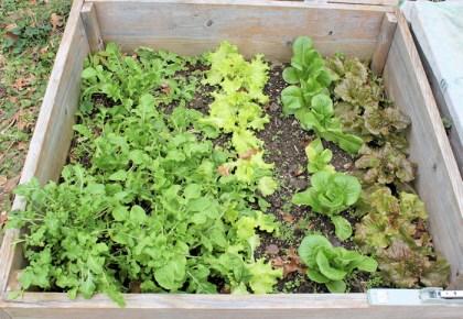 arugula and lettuce in cold frame
