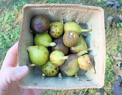 late ripening figs