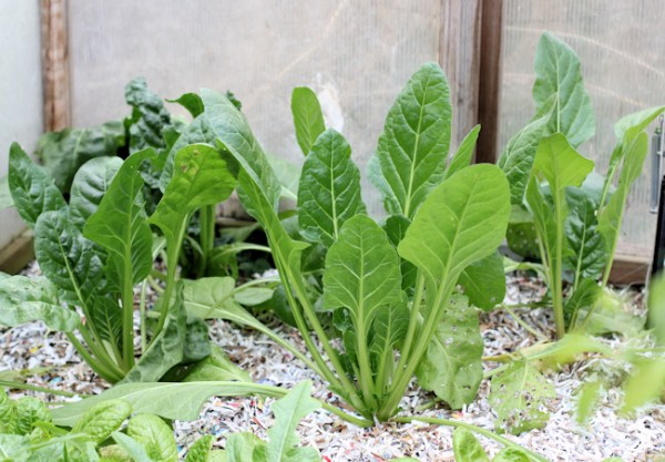 Verde da Taglio chard in greenhouse