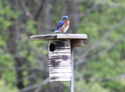 male bluebird on nest bo