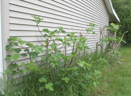 fig plants after pruning