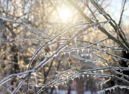 ice-covered dogwood tree