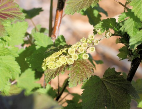 currants blooming