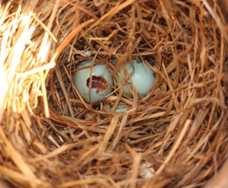 bluebird eggs after English sparrow predation