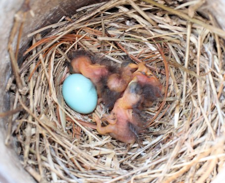 just hatched baby bluebirds