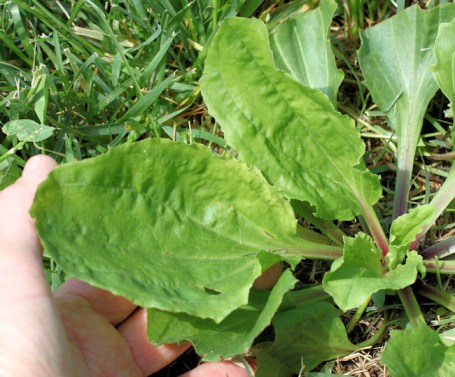 closeup showing plantain leaf