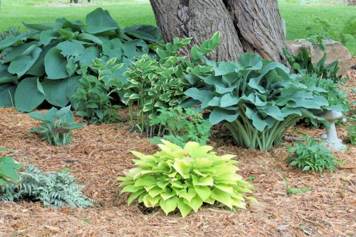shade garden with hostas, Toad Lily, Astilbe and Bleeding Heart