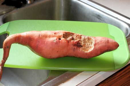 Beauregard sweet potato with vole damage