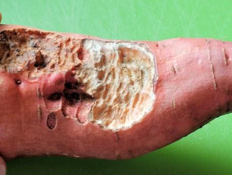closeup of vole damage on sweet potato