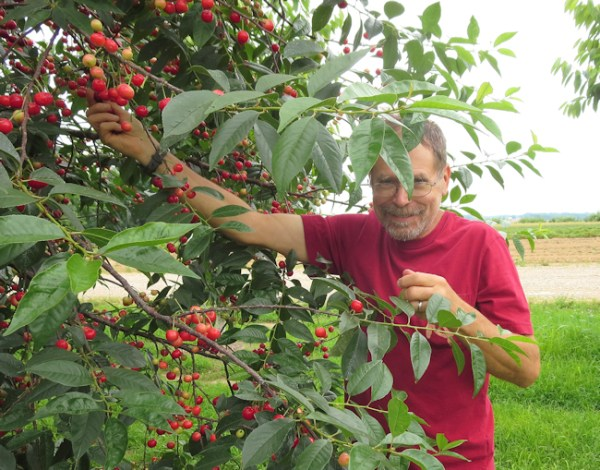 me picking cherries at Farview Orchards