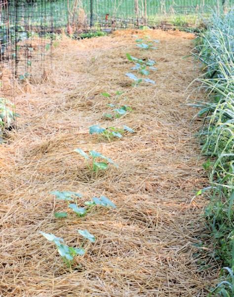 squash plants mulched