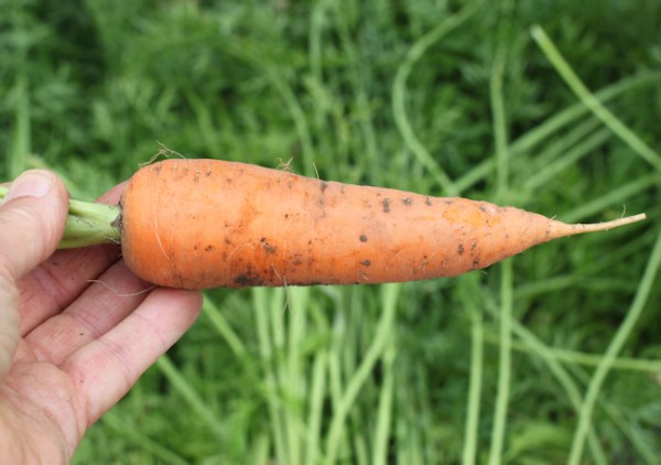 closeup of Cordoba carrot