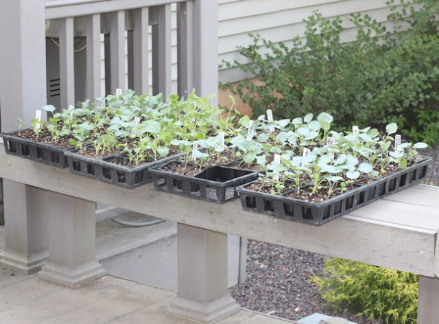 seedlings for fall vegetables