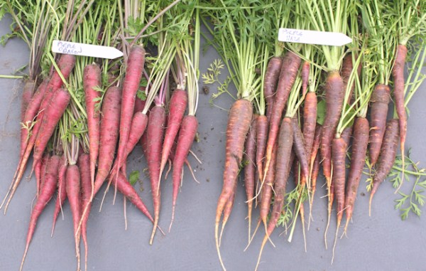 Purple Dragon and Purple Haze carrots